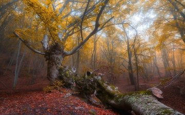 trees, forest, leaves, autumn, crimea, beech, demerdzhi, oleg sorokin