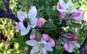 tree, flowering, insect, spring, apple, bee