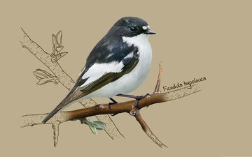 арт, птичка, мухоловка, kate kondrukhova, european pied flycatcher, мухоловка-пеструшка