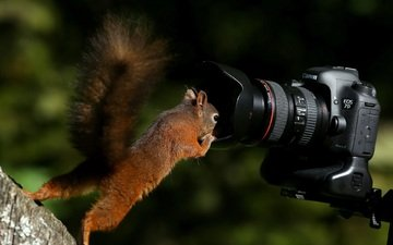 the camera, protein, camera, curiosity, tail, squirrel