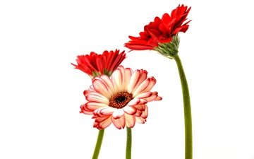 цветы, лепестки, белый фон, стебли, герберы
