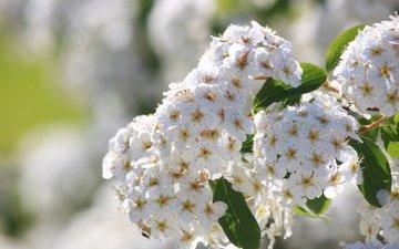 flowering, inflorescence, bokeh, white flowers, spiraea
