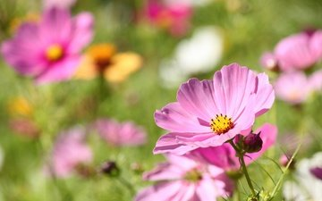 flowers, petals, blur, bokeh, kosmeya