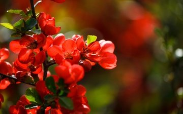 light, flowers, flowering, bokeh, quince, red flowers, japanese quince