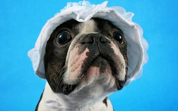 muzzle, look, dog, puppy, cap, boston terrier