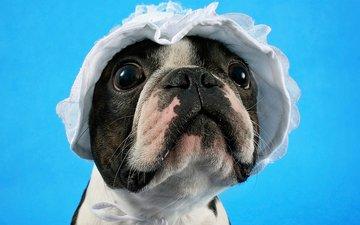 мордочка, взгляд, собака, щенок, чепчик, бостон-терьер