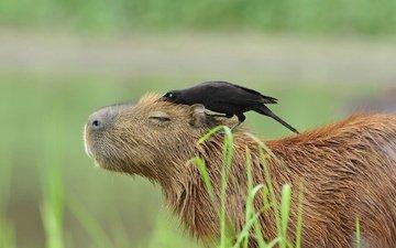 птица, животное, бразилия, пантанал, капибара, большая воловья птица