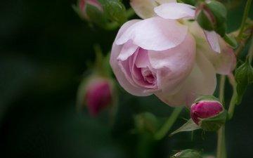 цветы, бутоны, макро, розы, роза, лепестки, боке