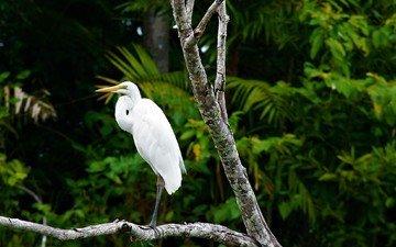 природа, клюв, перья, цапля, белая цапля