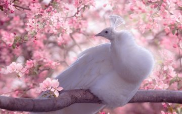 цветы, белый, птица, клюв, весна, павлин, перья, сакура