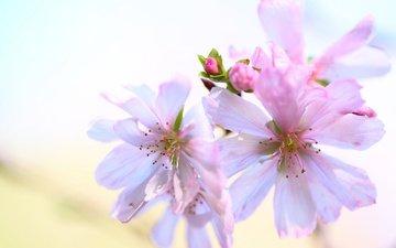 цветы, цветение, бутоны, фон, весна