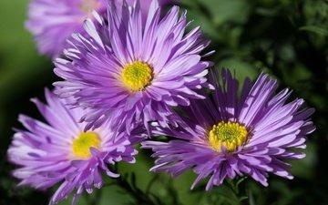 цветы, лепестки, астры, астра татарская