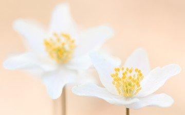 цветы, макро, лепестки, размытость, белые, анемон