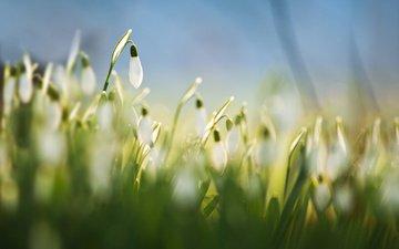 цветы, трава, размытость, весна, белые, подснежники