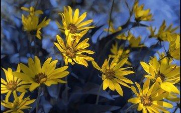 flowers, petals, spring, bokeh, jerusalem artichoke