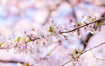 flowers, flowering, branches, blur, spring