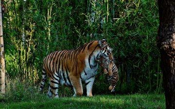 predator, big cat, tiger, jungle, tigress, tigers