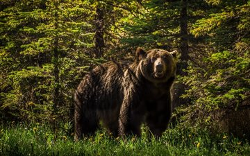 морда, лес, взгляд, медведь, хищник, тайга, бурый медведь