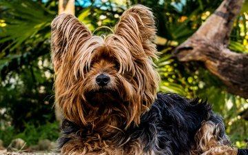 мордочка, взгляд, собака, щенок, йорк, йоркширский терьер