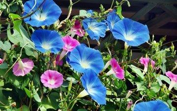 цветы, листья, лепестки, крупный план, вьюнок