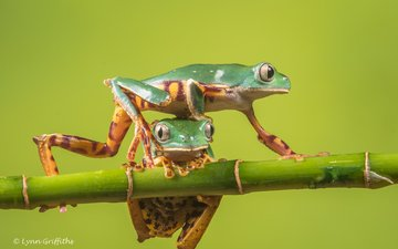 nature, background, bamboo, frog, frogs, amphibian, treefrog, lynn griffiths