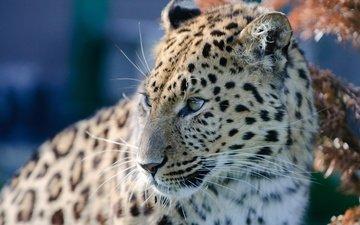 морда, взгляд, леопард, хищник, дикая кошка, амурский леопард