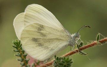 макро, насекомое, бабочка, крылья, растение, белянка