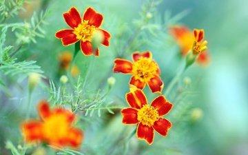 flowers, macro, petals, bokeh, marigolds