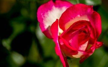 макро, цветок, роза, лепестки, бутон, боке