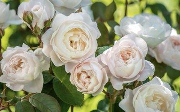 цветы, бутоны, листья, макро, розы, лепестки, белые