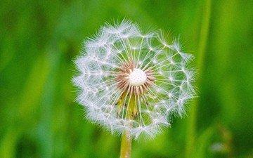 макро, цветок, одуванчик, семена, пух, пушинки, былинки