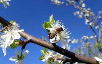 the sky, branch, flowering, insect, spring, bee, drain