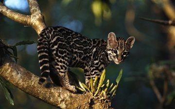 природа, дерево, хищник, маргай, длиннохвостая кошка