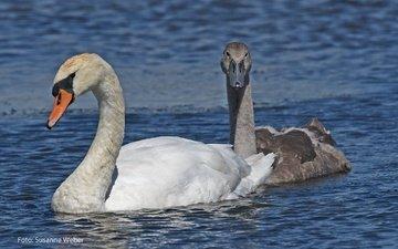 природа, птицы, клюв, любовь, пруд, пара, перья, лебеди, плывут