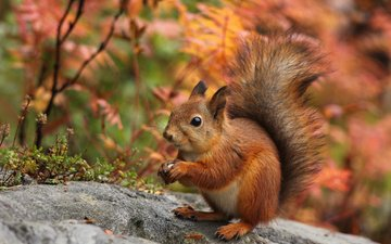nature, autumn, ears, protein, tail, squirrel