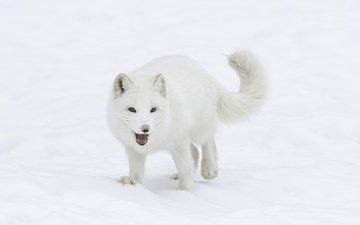 снег, зима, мордочка, взгляд, лисица, хвост, мех, песец, арктическая лиса