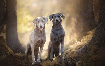 muzzle, look, labrador, dogs, bokeh, silver labradors