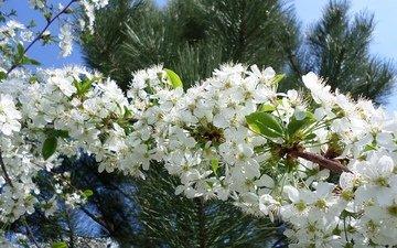 ветка, цветение, весна, вишня
