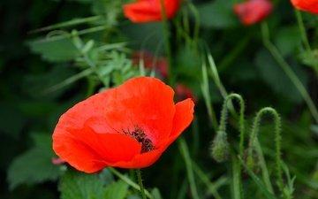 цветы, бутоны, лепестки, красные, маки, стебли