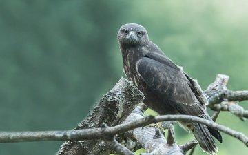 дерево, взгляд, птица, клюв, перья, ястреб, боке