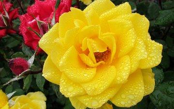 цветы, бутоны, роса, капли, розы, лепестки, крупным планом