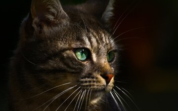 background, cat, muzzle, mustache, look, green eyes