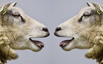 profile, sheep, head