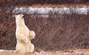 snow, nature, paws, polar bear, bear