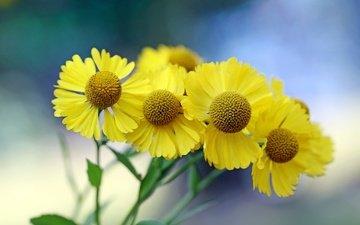 цветы, лепестки, стебли, боке, гелениум