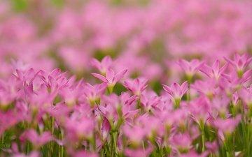flowers, petals, pink, bokeh, zephyranthes