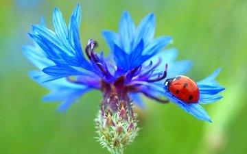 жук, насекомое, цветок, божья коровка, василек
