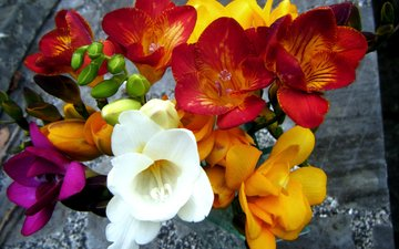 flowers, petals, colorful, bouquet, freesia, closeup