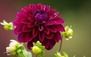 цветы, бутоны, макро, лепестки, георгин