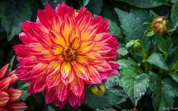 цветы, цветение, листья, лепестки, бутон, георгин